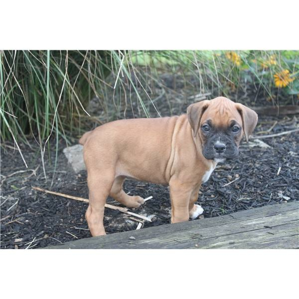 Flashy Boxers and colors. A cute female Boxer puppy for sale in windsor, PA 17366.