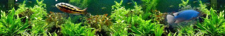 Cryptocoryne, Wendtii, Green (Cryptocoryne wendtii)     freshwateraquariumplants.com