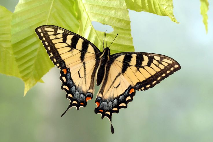 Swallowtail Butterfly | yellow form of the female eastern tiger swallowtail butterfly, here ...