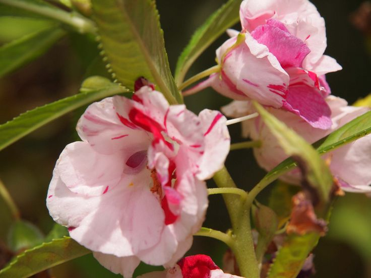 Balsam requires some time to produce flowers, so an early start is essential. Learn how to grow balsam in this article and enjoy these lovely colorful flowers throughout the season. Learn more here.