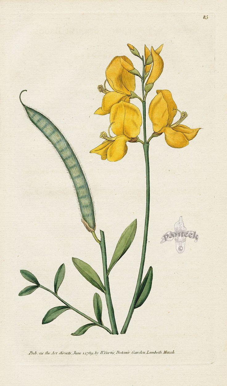 Spartium Jungeum. Spanish Broom. from William Curtis Botanical Magazine 1st Edition Prints Vol 1-6 1787