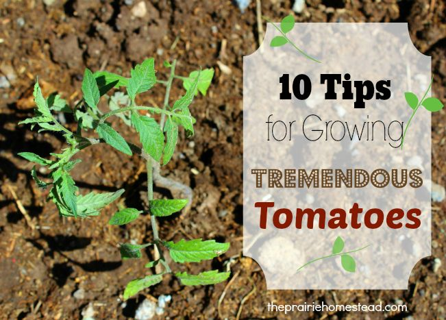 how to grow tomatoes - includes tip for natural fungicide