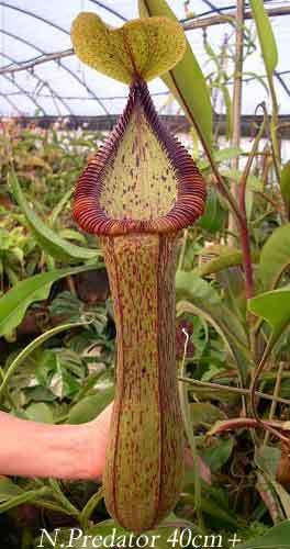 Ask Geoff Mansell | Carnivorous Plants in the tropics