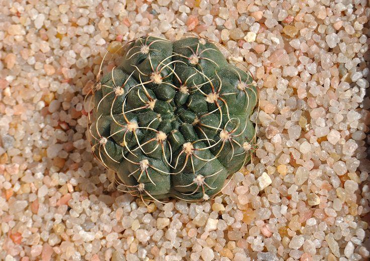 Gymnocalycium baldianum (Speg.) Speg.