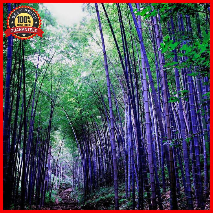 200+ Fresh Purple Bamboo Seeds - Timor Bambusa Lako - HARDY and RARE #PurpleBambooSeeds