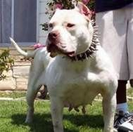 White American Bully Pitbull