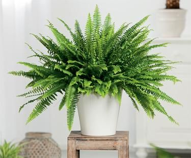 Boston Fern - Indoor, med light in back bedroom, bathroom or kitchen, makes a good hanging plant too
