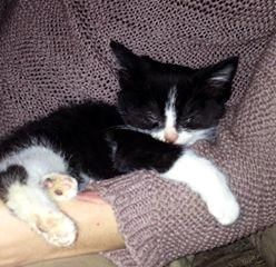 Lost on 11/04/2014 @ Newton Le Willows WA12 9SX. My daughters 4 month old KITTEN is missing from home. She is black and white (black body, white legs, white vest and white chin with line up to her forehead. At the time she was wearing a pink coll... Visit: https://whiteboomerang.com/?show=12tl280 (Posted by Sheila on 20/04/2014)