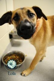 Lola - Shepherd mix available for adoption at the Joplin Humane Society www.joplinhumane.org