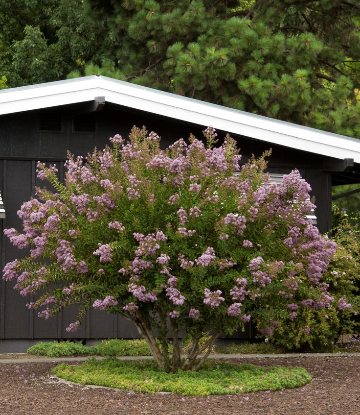 Small Ornamental Trees Nc: 1000+ Images About Client-Francis On Pinterest
