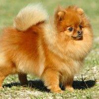 #dogalize Razas de Perros: Spitz enano caracteristicas y cuidados #dogs #cats #pets