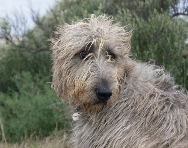 Irish wolfhound-our looks a little like this
