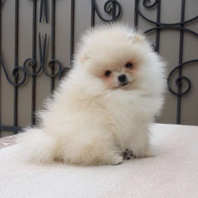 Girl for sale! Cream, 3 months, 1,8 kg, 19-20 cm/ Маленькая куколка продаётся в питомнике наших друзей! Будет 1.8 кг, 19-20 см. Очень курносая и набивная. Подробнее в What's App или Viber 89250298090 #помогу_найти_вам_щенка_шпица_анна_романтинабест