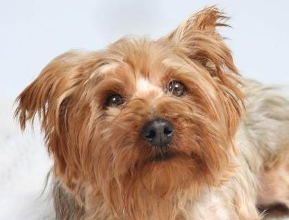 Petango.com – Meet Fortune, a 7 years 6 months Terrier, Yorkshire available for adoption in COLORADO SPRINGS, CO