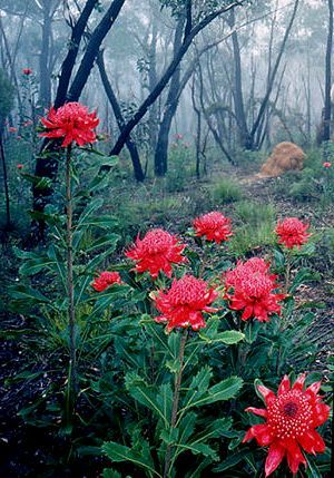 Waratahs at the Rhododendron Gardens, Blackheath NSW #Australian flora