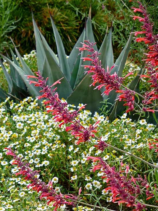 32 best Agastache images on Pinterest | Perennials, Plants and Blue ...