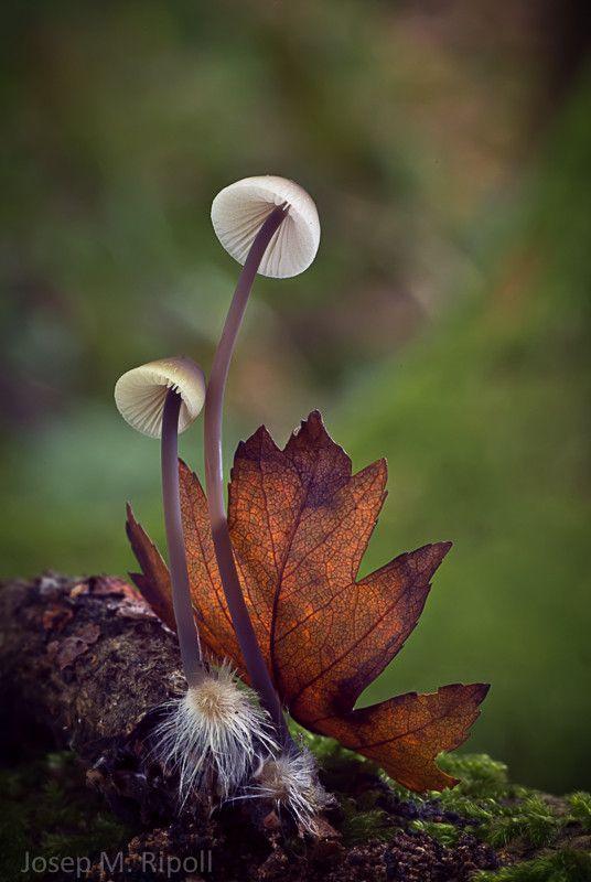"♂ Macro photography Mushroom autumn leave ""Mycena sp."" by Josep Maria Ripoll Tarrago"