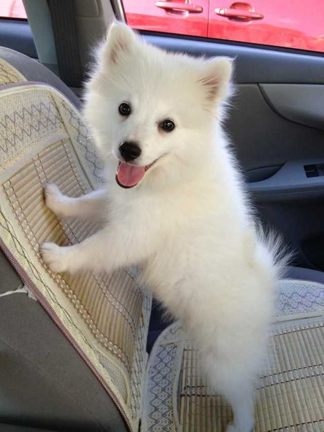 Hi Reddit! This is Sky! He's a mini American Eskimo and the