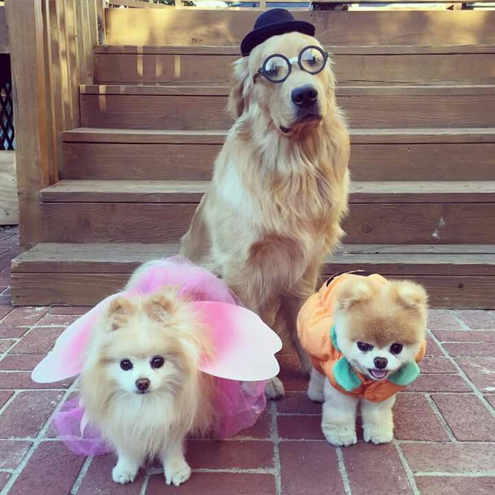 Must see Boo Chubby Adorable Dog - 609caacb5269acca0fc97c0277c78c41--fancy-dress-happy-halloween  Perfect Image Reference_27219  .jpg