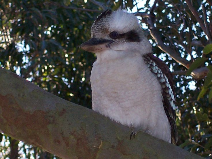 Kookaburra at our home at Killcare Central Coast NSW