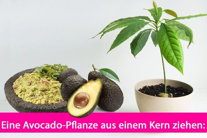 Willst du eine eigene Avocado-Pflanze? Mit nur einem Avocado-Kern beginnt das Abenteuer. Hier erfährst du alles Weitere. Das musst du beachten: