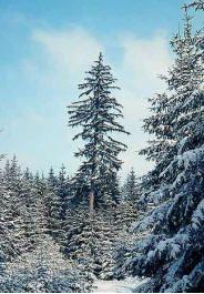 """49- L'Epicéa Résineux , l'hiver. - § JARDIN LE NÔTRE: ... couronnes impériales, pivoines, iris, asters, jacinthes Totus Albus et autres plantes annuelles"""". On plante marronniers d'Inde, érables sycomores, sapins, EPICEAS, houx,, chênes verts, pyracanthas, lauriers-tins, cyprès et bus en boule pour masquer les murs et, près des 6 grands portiques en treillage d'osier et de châtaignier, sont cités: chèvrefeuille """"romain"""", lilas blanc et rouge, seringas, giroflées doubles et rosiers ...."""