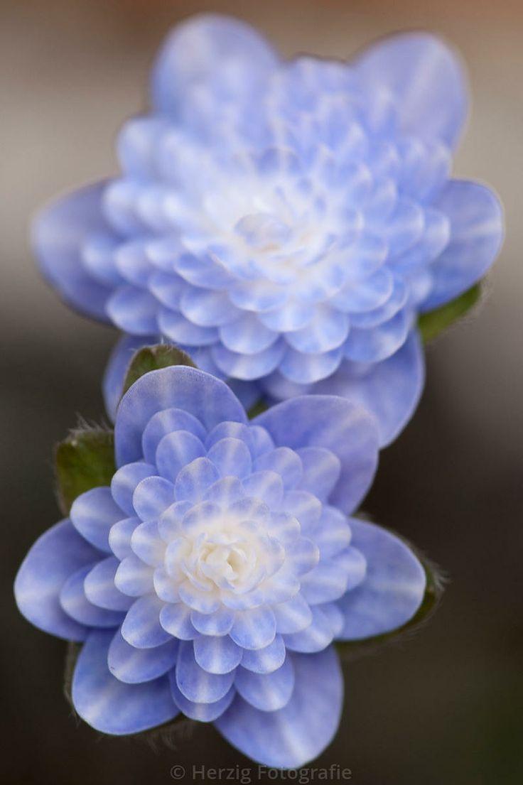 "Stockfoto Hepatica Nobilis var. japonica  ""Haruno awayuki"" -  Japanisches Leberblümchen by Herzig-Foto"