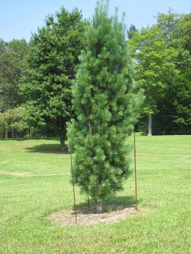 Pinus strobus 'Bennett Fastigiate' - Bennett Fastigiate eastern white pine