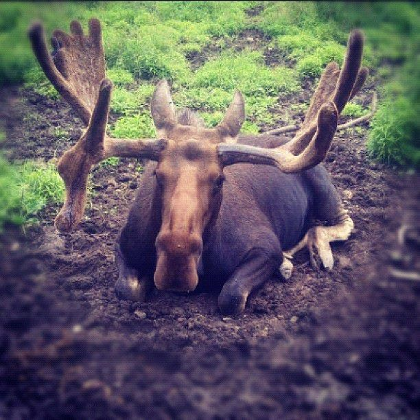 A most impressive moose taking a much needed rest | Wildlife in New Brunswick, Canada | Photo: Leanna Firth #ExploreNB