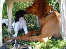 Hondengedragstherapie en Puppy Coaching: Pupje opvoeden - een paar tips op een rijtje (Patrijshond, Heidewachtel, Kooiker)