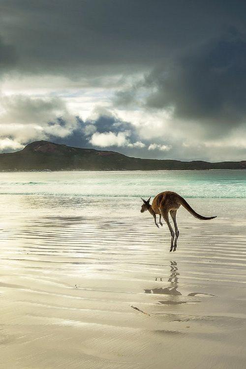 kangaroo an animal that is native to australia.