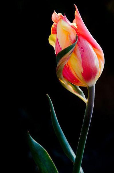 ~~ Tulip ~~ by Karen Milligan ~~