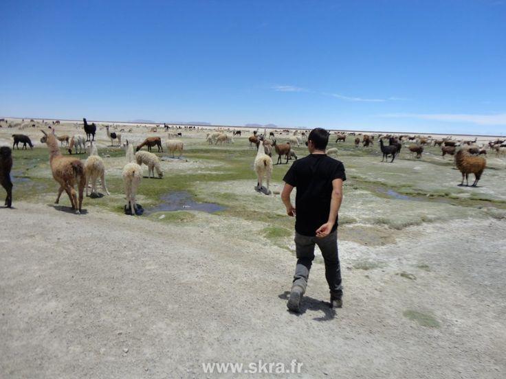 Un troupeau de lama en fuite au Salar de Uyuni, Bolivie