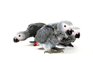 Tips on Training an African Grey Parrot