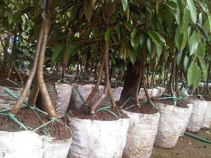 Cara menanam durian musang king sebenarnya tidak sesulit yang anda bayangkan. Pohon durian tumbuh di daratan rendah hingga ketinggian 1000 meter di atas permukaan laut. Pohon durian tumbuh subur di daerah yang beriklim basah atau daerah yang memiliki curah hujan yang tinggi dengan tanah yang lembab, gembur, subur dengan kedalaman air tanah tidak lebih dari