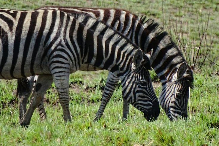 Zebra South Africa Zebra