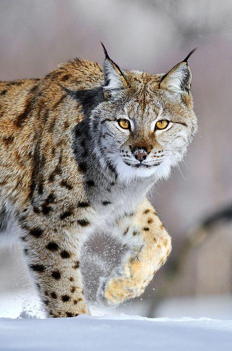 Eurasian Lynx Walking Greeting Card