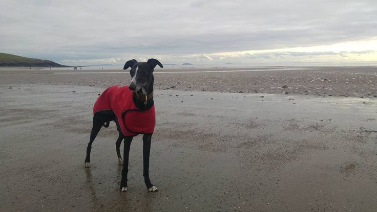 """The pose that says """"I OWN this beach!' #lurcher"""