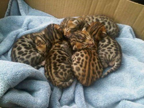 baby bengal kittens - want!: Bengal Tigers, So Cute, Bengal Cat, Boxes, Bengal Kittens, Baby Leopards, Kitty, Baby Cheetahs, Animal