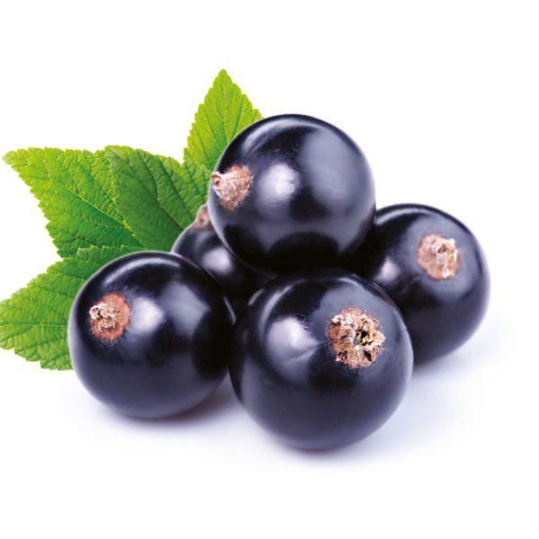 Porzeczka czarna - Ribes nigrum 'Titania'
