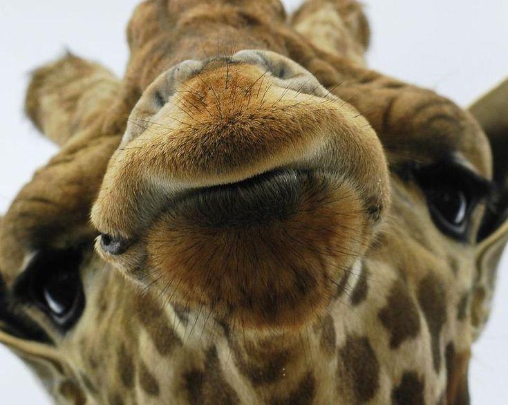 Love this guy!: Wild Animal, Kiss Me, A Kiss, Funny Giraffe, Pucker Up, Baby Animal, Funny Animal, Close Up, Animal Photos