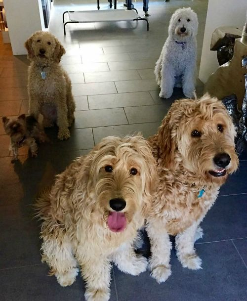 Arizona Goldendoodle family dog