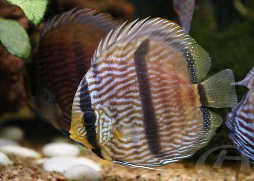 Blue Heckel Discus WILD Fish | AquariumFishSale.com - Live Tropical Fish for Sale!