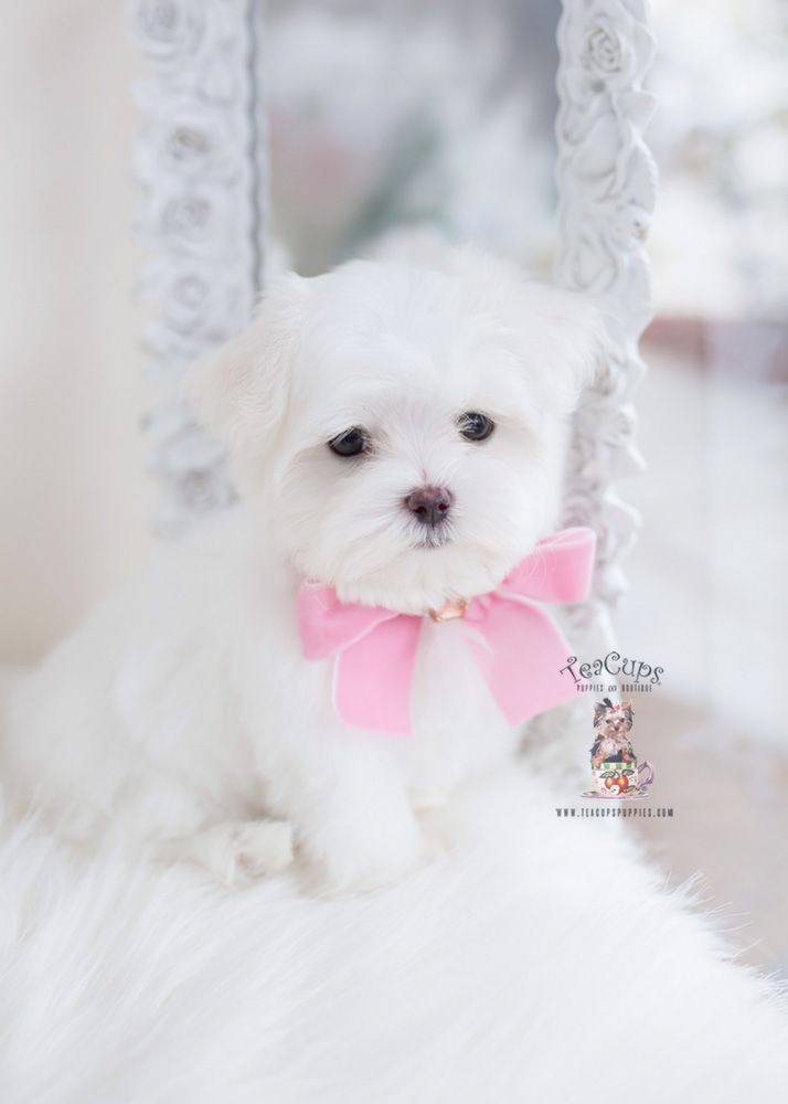 Yorkie Puppies Miami Teacups Puppies Boutique Maltese With
