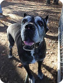 Brookhaven, NY - Mastiff Mix. Meet Goliath, a dog for adoption. http://www.adoptapet.com/pet/17532378-brookhaven-new-york-mastiff-mix