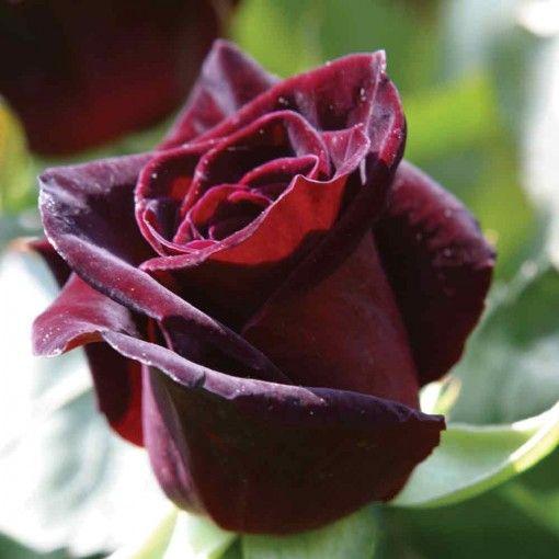 Black Barraca Hybrid Tea Rose Velvet Boarder Rose