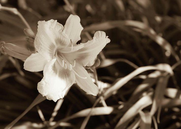 Olga Olay Photograph - Beautiful Lily In Sepia by Olga Olay   #OlgaOlayFineArtPhotography #ArtForHome #FineArtPrints #Flower