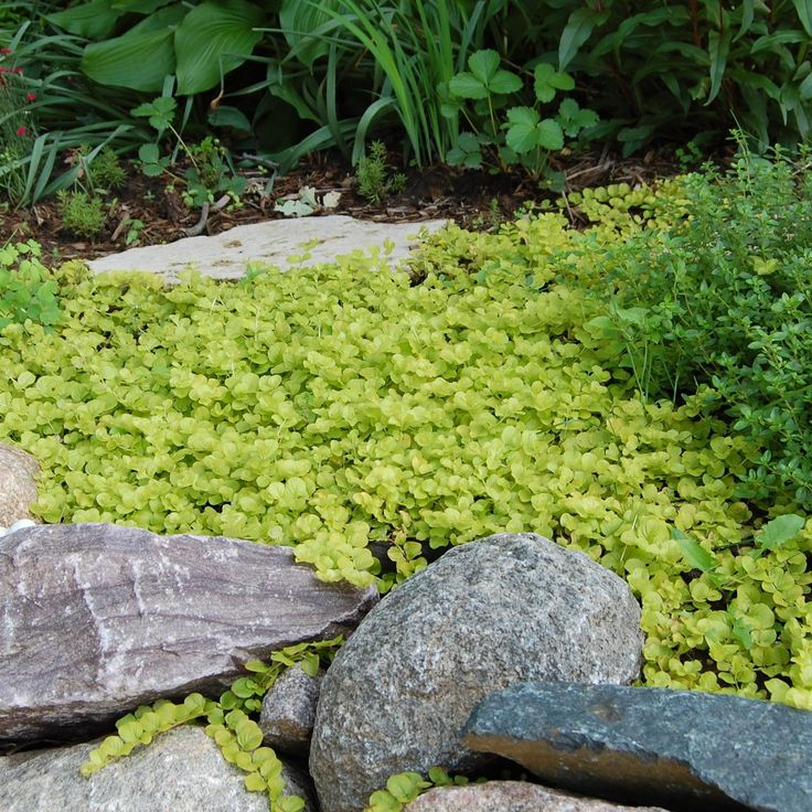 10 great groundcover plants plants and landscapes for Best low growing groundcover for full sun