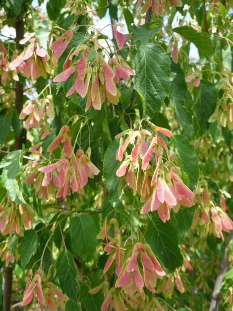 #Acer ginnala - Amur #maple - #Érable du #fleuve #Amour - #Acero - #arce de #Amur - #Feuer #Ahorn - It is a #small #tree, it also assumes #bushy #rabbit. #Leaves are bright #green and in #autumn they take a #spectacular deep #red #color.