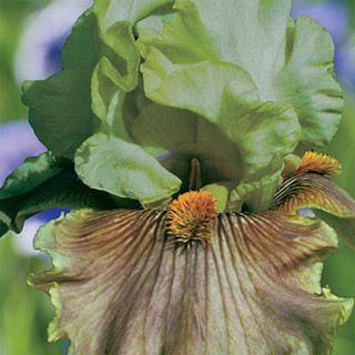 Buy St. Patrick's Day Reblooming Iris at Michigan Bulb